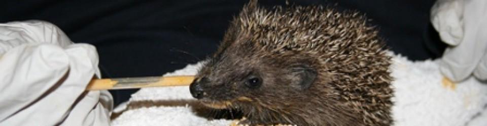 Sandy Hedgehog Rescue